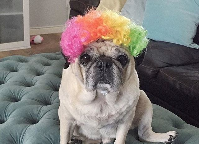 pug with colorful hair wig