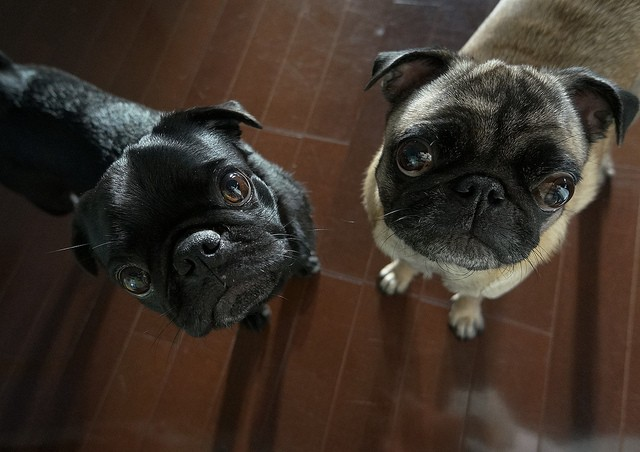 pugs listening and staring