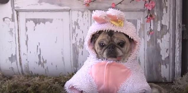 Clara the pug bunny