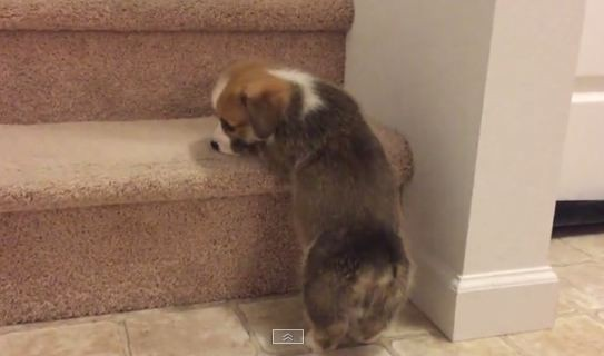Corgi tries to make it up the stairs