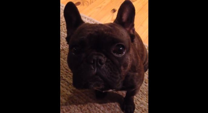 French Bulldog wants attentiont