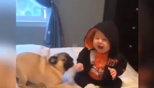 Pug and baby laughing