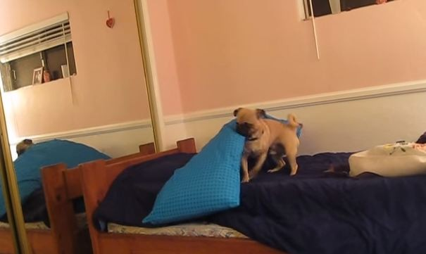 Pug not ready for bed