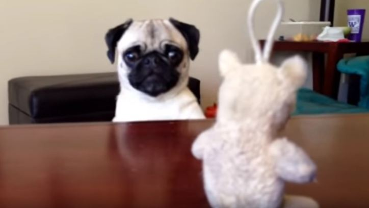 Pug wants his toy