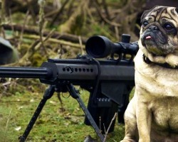 (VIDEO) This Sniper Pug is a Total Maverick – He's My Hero!