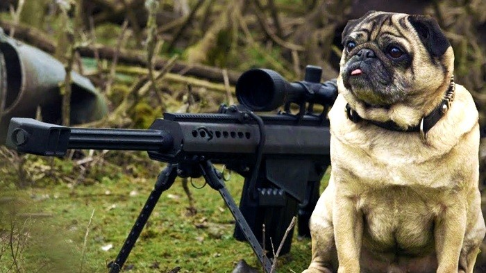 Pugsly the sniper pug