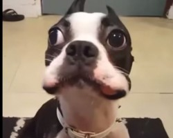 (VIDEO) Psst… This Boston Terrier Has a Secret. Watch How He Struggles to Keep it – Haha!