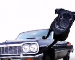 (VIDEO) When You Push Play on This Pug Morphing Remix… You Won't be Able to Believe Your Eyes! SO Entertaining!