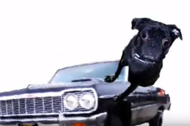 morphing pug