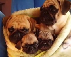 (VIDEO) Cuddle Fest Between a Family of Pugs is SO Sweet I'm Melting!