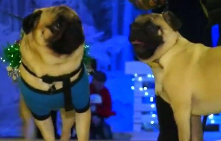 pug fashion contest