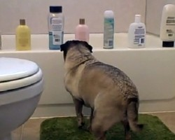 (VIDEO) This Pug Approaches Shampoo Bottles on the Edge of the Tub. What Happens Next is Unbelievable!