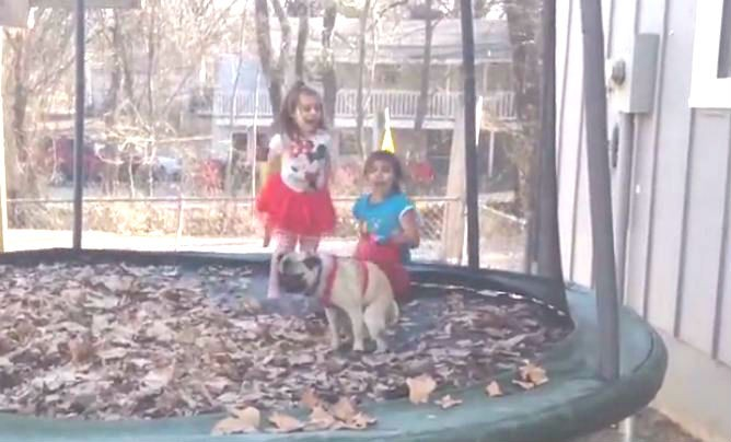 pug pooping on the trampoline