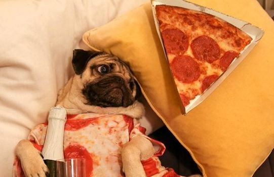 pug with pizza