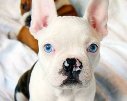 5 French Bulldog Mixes You've Never Heard of Before. The Last One is too Cute for Words.