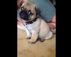 "(VIDEO) Baby Pug's Very First… Will Make You Go ""Aww!"""