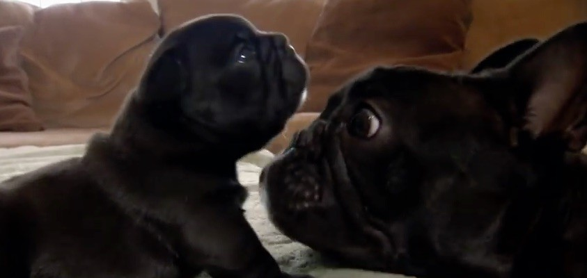 frenchie dad and pup