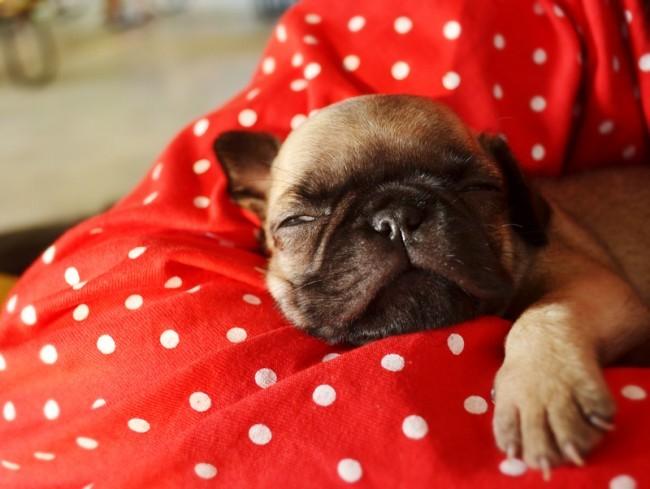 pug puppy being held