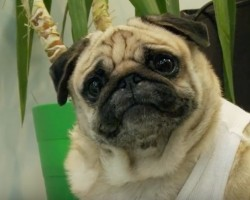 (VIDEO) Experience the Hit 'Die Hard' Film Once Again, This Time Starring… Pug Willis!