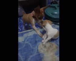 (VIDEO) Watch How One Puppy Introduces His Puppy Pal to the Magical Wonders of a Human Bed