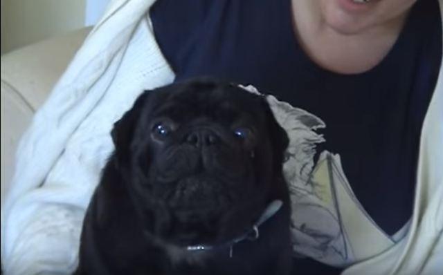 screaming black pug