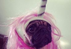 11 Pugs Who Just Want Halloween to be Over for Once and for All