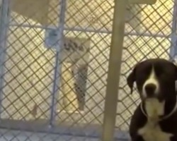 (VIDEO) Sweetest Shelter Pup Ever Just Got Adopted. When He Finds Out? Most Touching Freak Out Moment EVER!