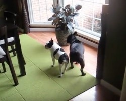 (VIDEO) Mommy Just Got Home. When Two Doggies Find Out? Their Response is Out of This World!