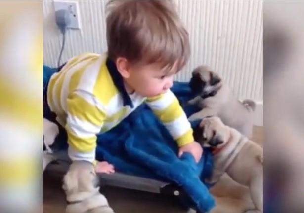 pug baby crawl