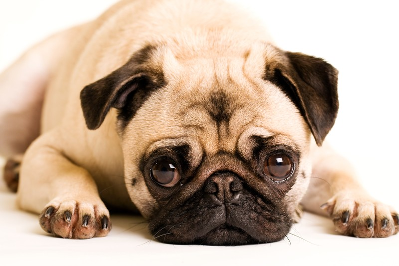 pug laying down