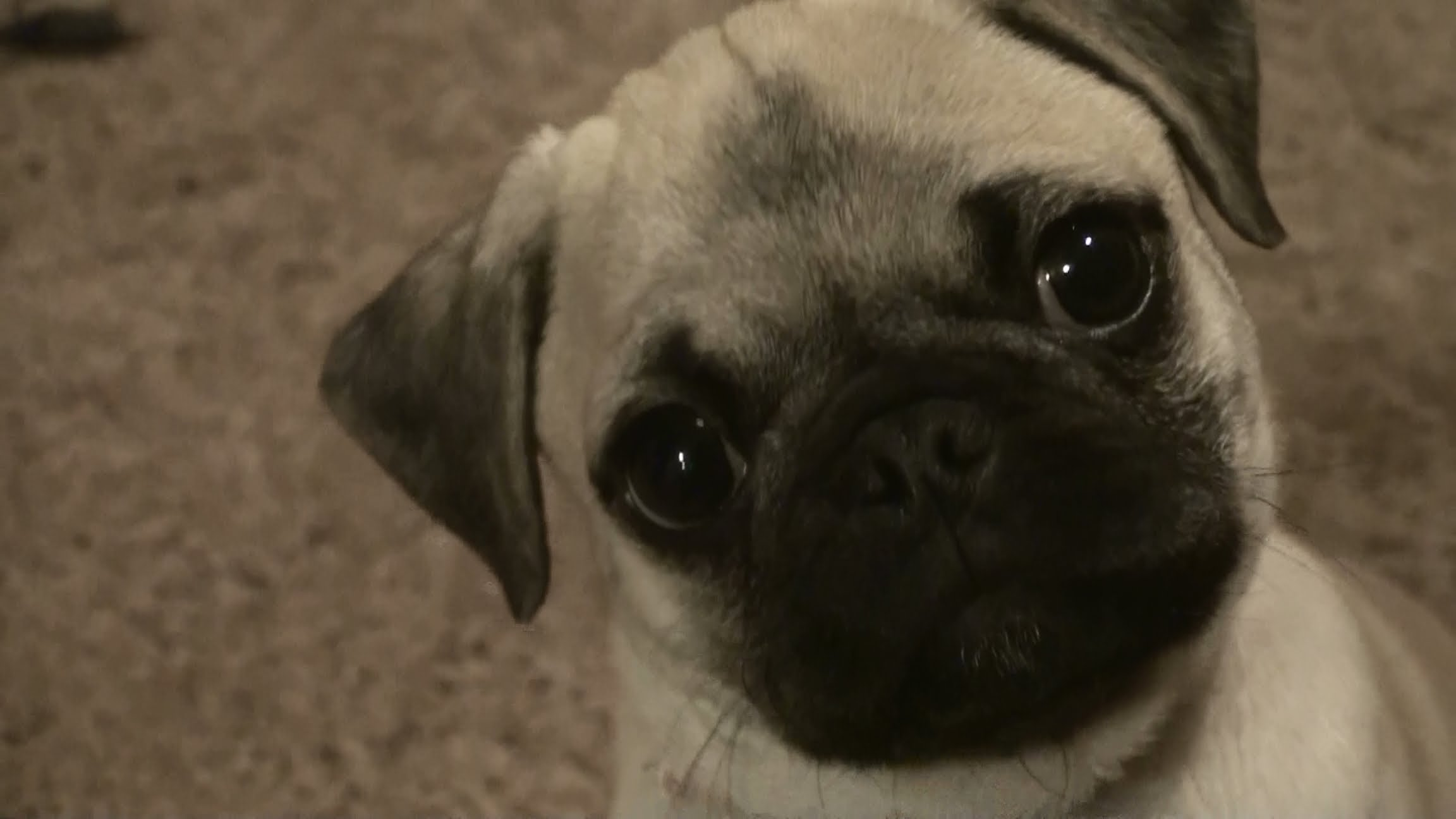 pug puppy attack and cuteness