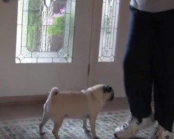 (VIDEO) Angry Pug Does Not Want His Dad to Leave. Now Keep Your Eyes on the Dad's Shoes. HILARIOUS!