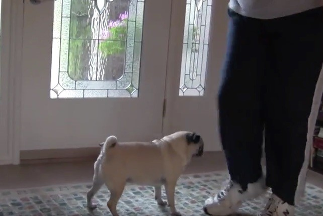 pug going after dad's shoes