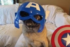 (VIDEO) With These Mighty Avenger Pugs, Just About ANYTHING is Possible…