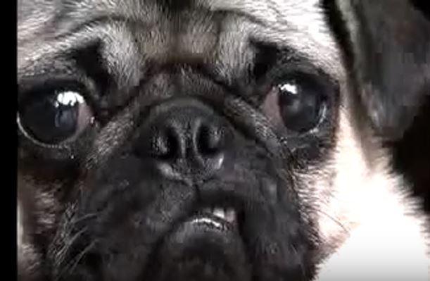 Max the Pug