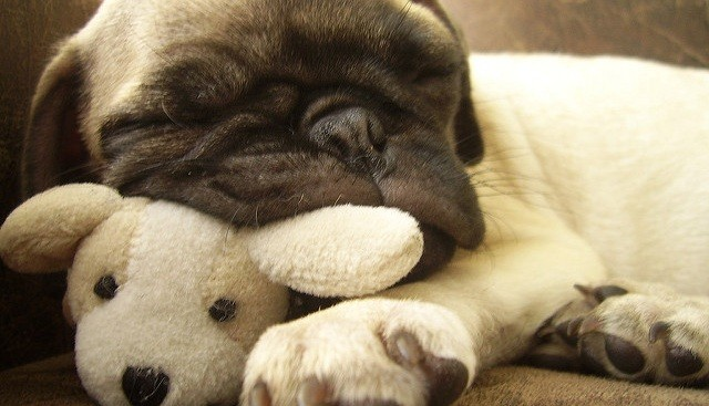 Pug puppy with stuffed animal