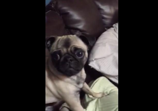 crying pug