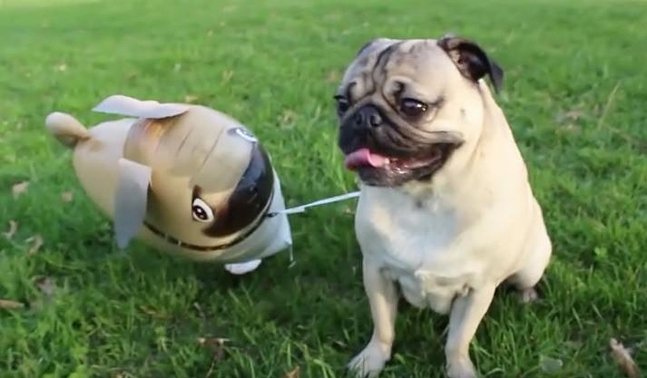 doug and pug
