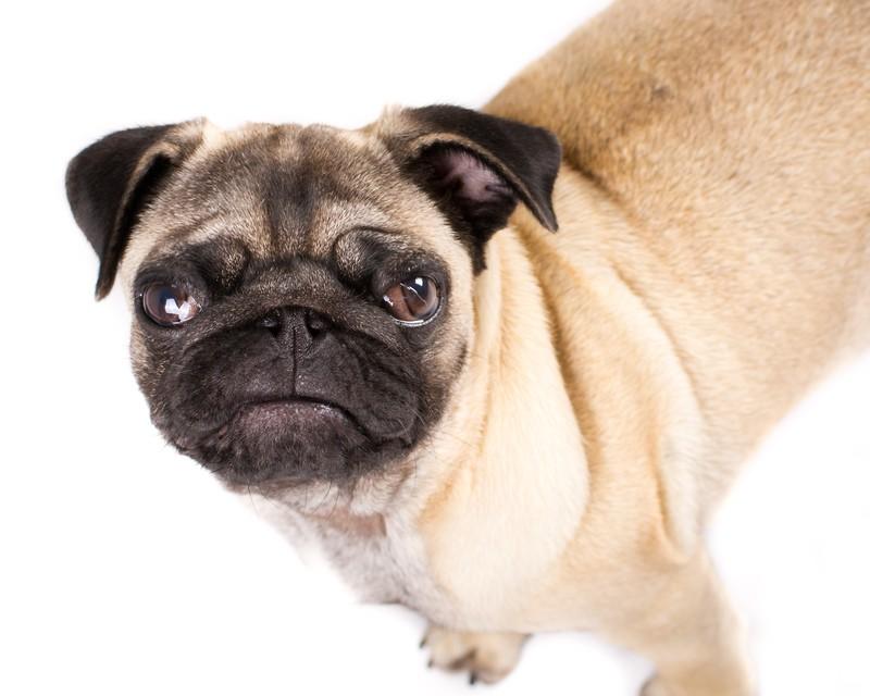 naughty pug