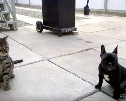 (VIDEO) Frenchie and Cat are Playing, But Wait Until THIS Happens…