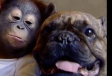 (VIDEO) You'll be in Shock When You Watch How a Cute Baby Orangutan Kisses a Bulldog!