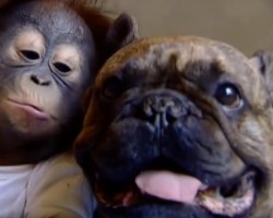 (VIDEO) You'll be in Shock When You Watch How a Cute Baby Orangutan Kisses a Bulldog!