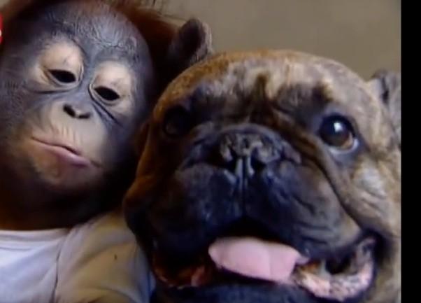 pug orangutan