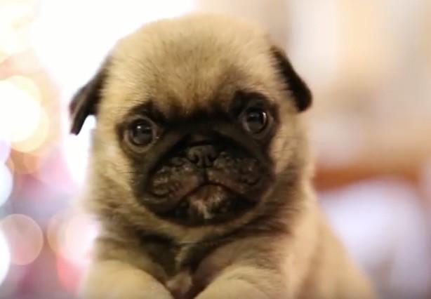pug toy