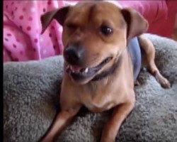 (VIDEO) Doggie Is Having a Sneezing Attack. When He Tries to Overcome It? SO Funny!