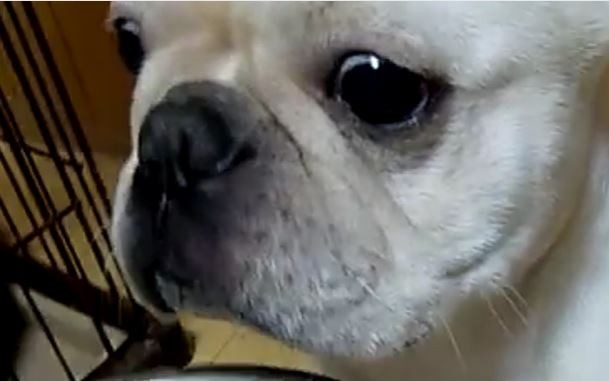 Frenchie Stare
