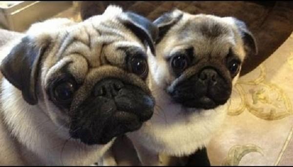 Pug mom and baby