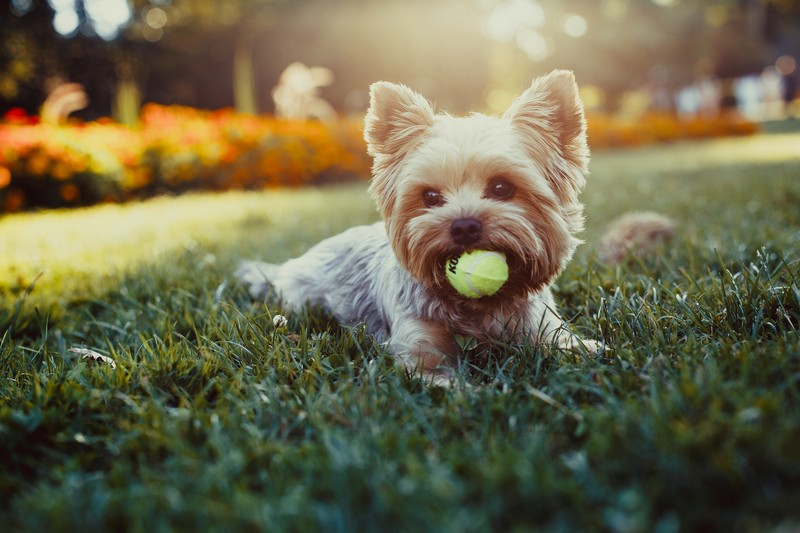 Yorkie with a ball