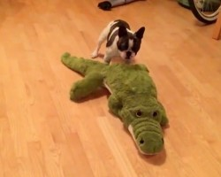 (VIDEO) Pixel the Frenchie Loves His Stuffed Alligator. Now Watch How He Ferociously Attacks it – Ha ha!