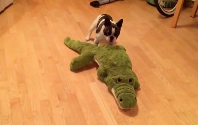 Frenchie and alligator